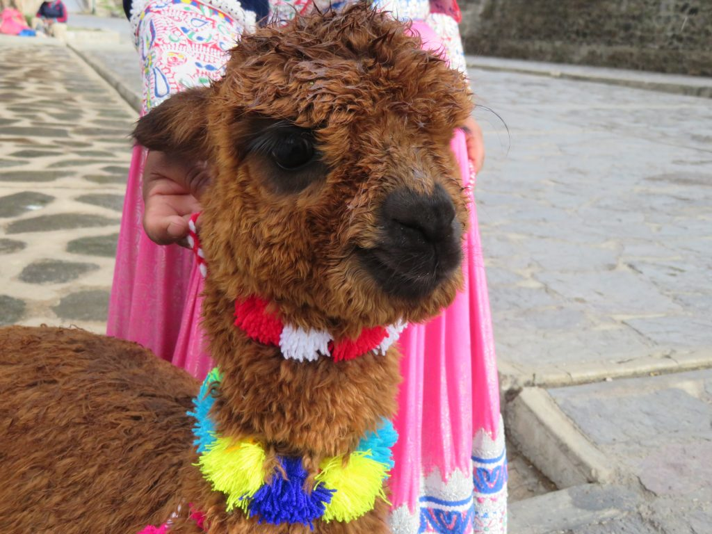 Visiting the Colca Canyon: Mateo the Alpaca