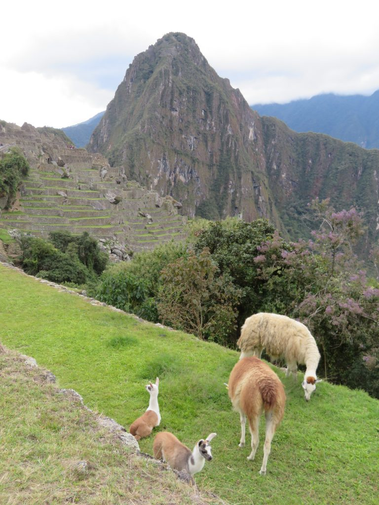 Visiting Machu Picchu | Machu Picchu Llamas and Alpacas
