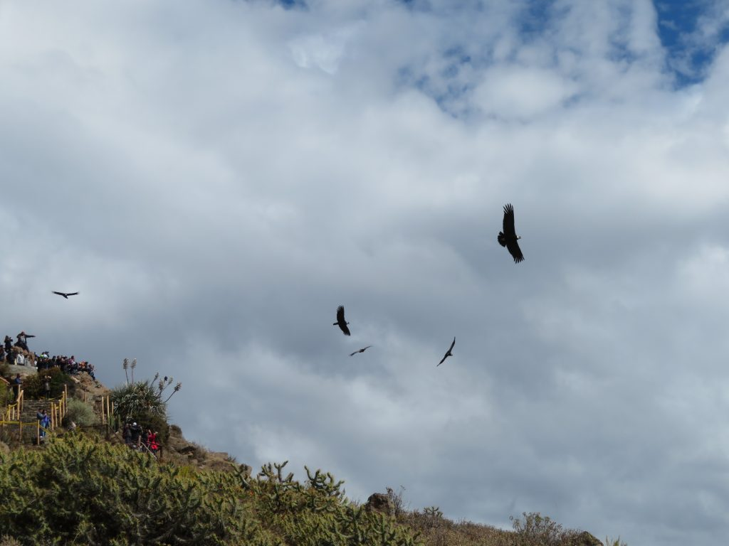 Visiting the Colca Canyon: Condors