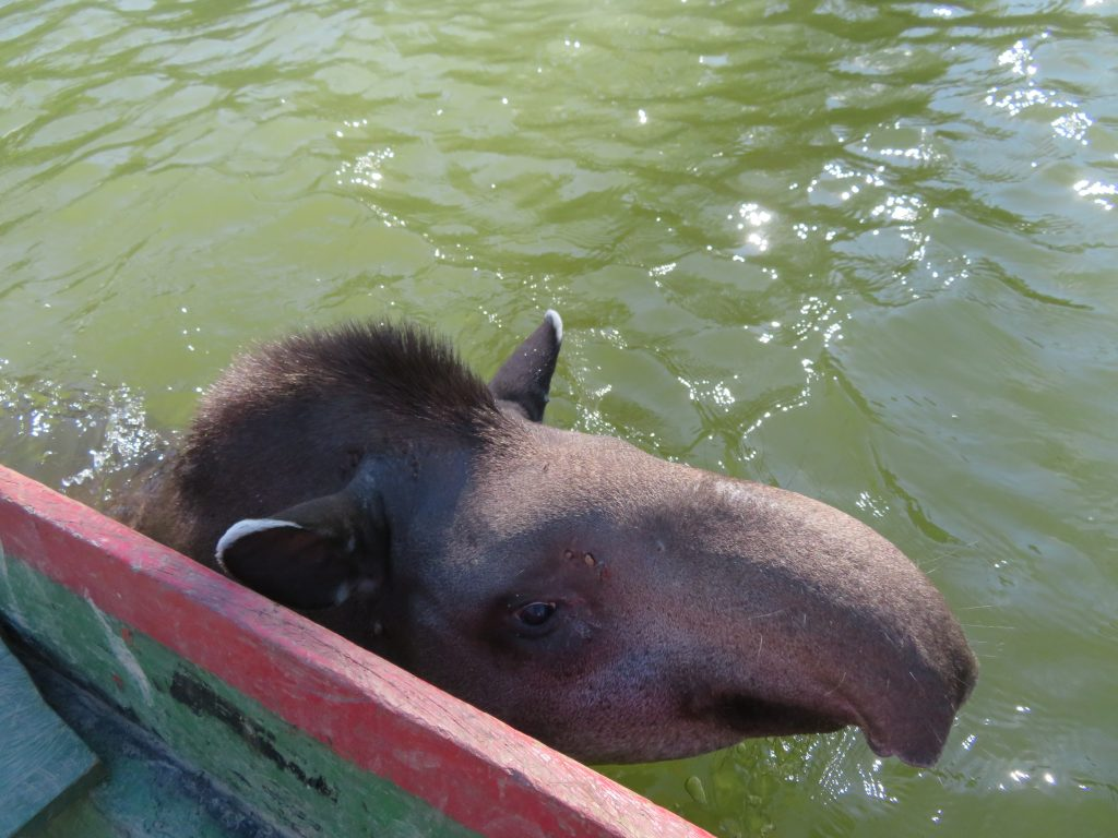 Amazon Rainforest | Tapir