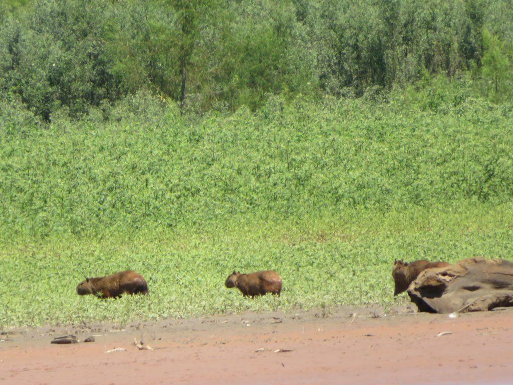 Amazon Rainforest | Capybaras