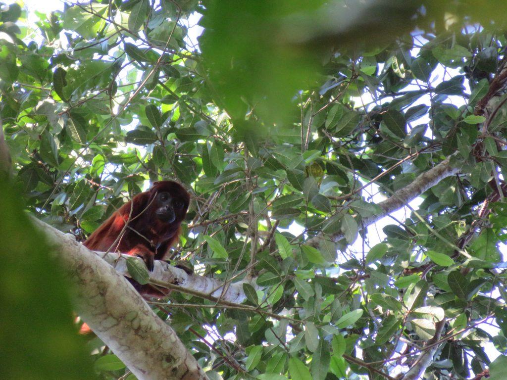Amazon Rainforest | Red Howler Monkey