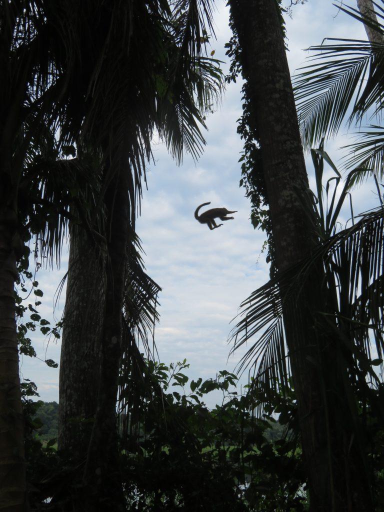 Amazon Rainforest | Squirrel Monkey