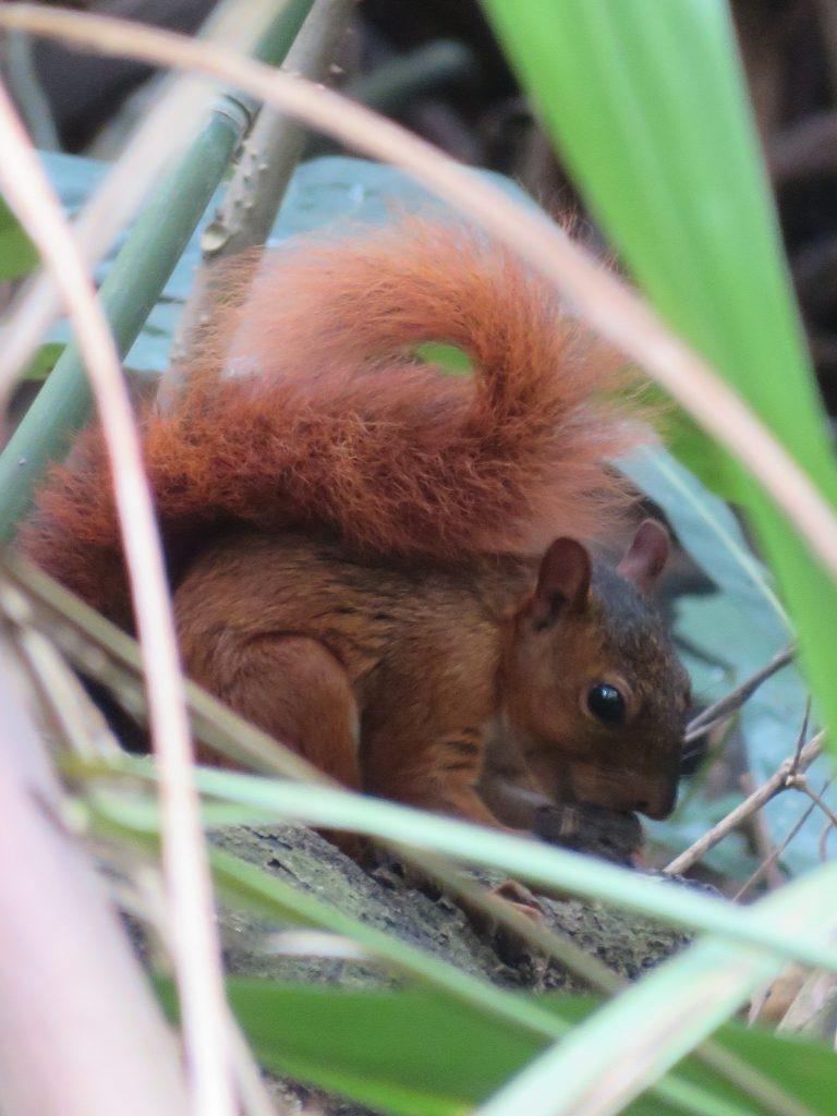 Amazon Rainforest | Red Squirrel
