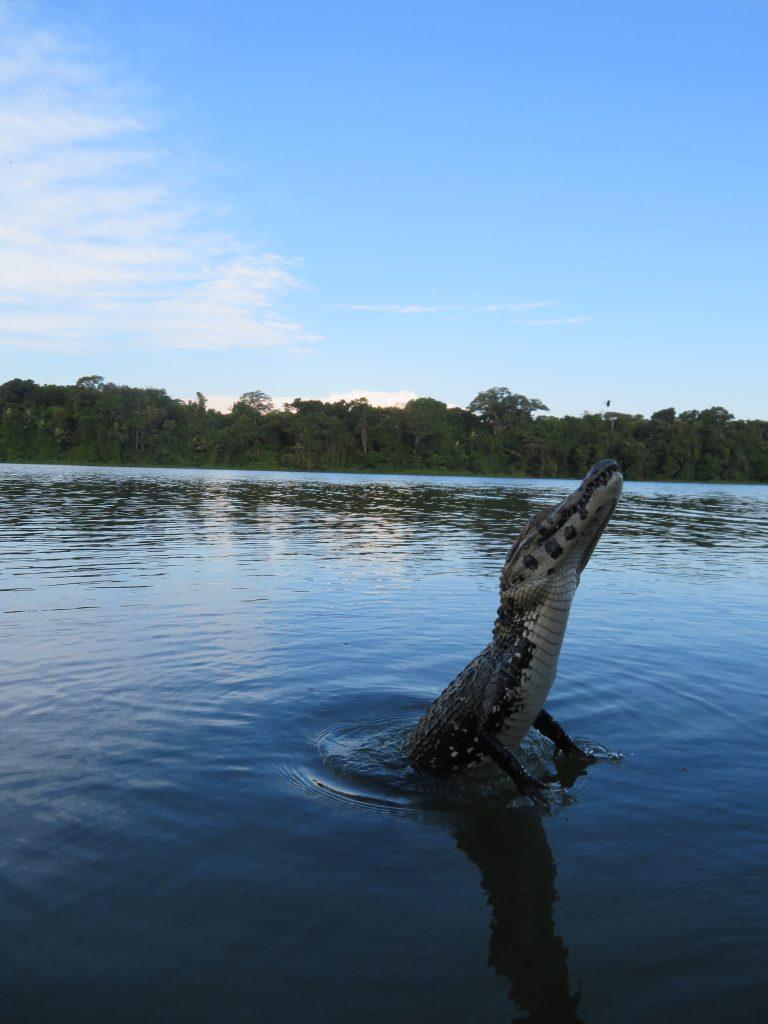 Amazon Rainforest | Caiman