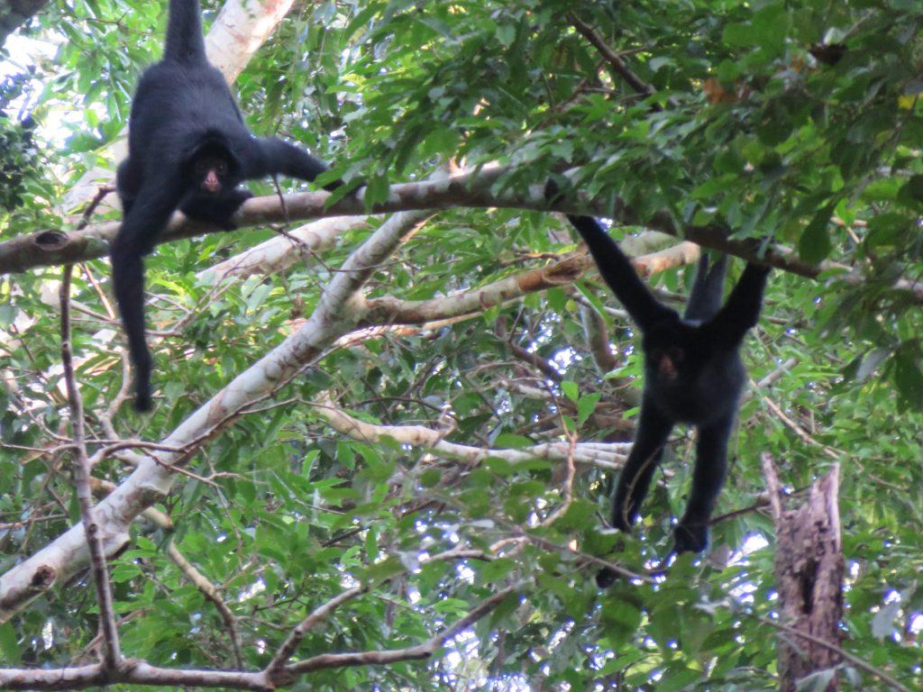 Amazon Rainforest | Spider Monkey