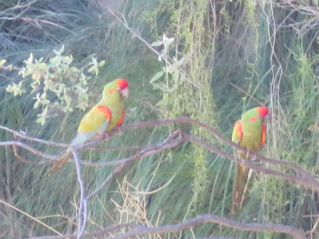Toro Toro National Park   Macaws